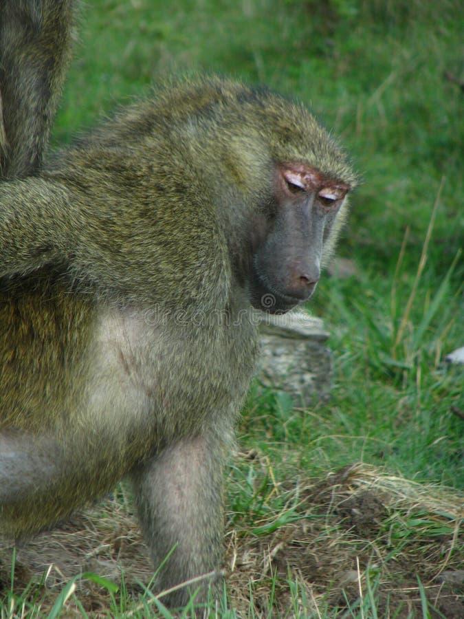 Babuíno de África que come algumas porcas fotos de stock royalty free