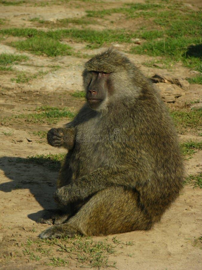 Babuíno de África que come algumas porcas foto de stock