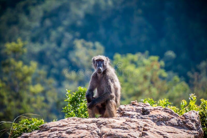 Babuíno de Chacma que senta-se em uma rocha fotos de stock royalty free