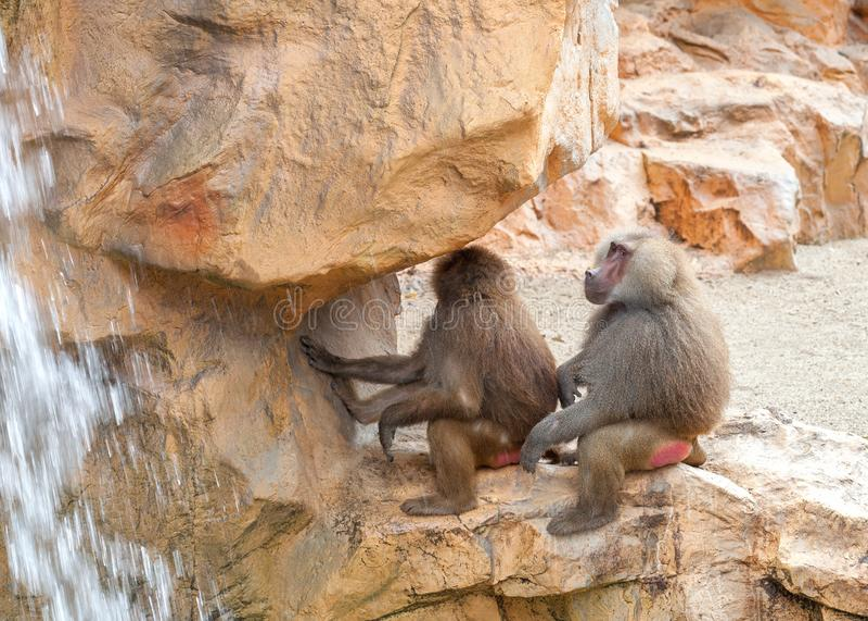 Babuíno de dois hamadryas que senta-se em uma pedra perto da cachoeira imagem de stock royalty free