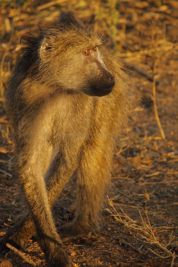 Babuíno em África do Sul fotos de stock