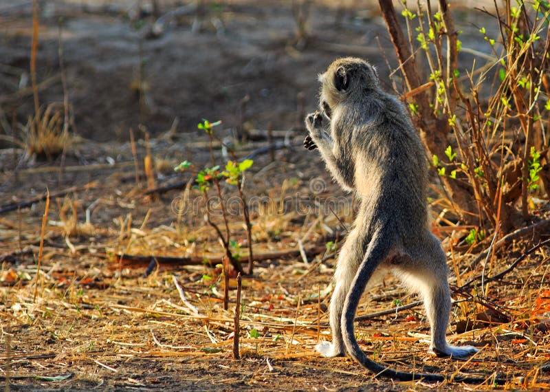 Babuíno que está ereto nos pés traseiros ao alimentar no parque nacional do luangwa sul imagem de stock royalty free