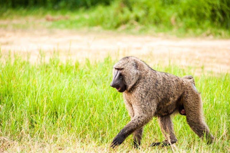 Babuíno Uganda foto de stock
