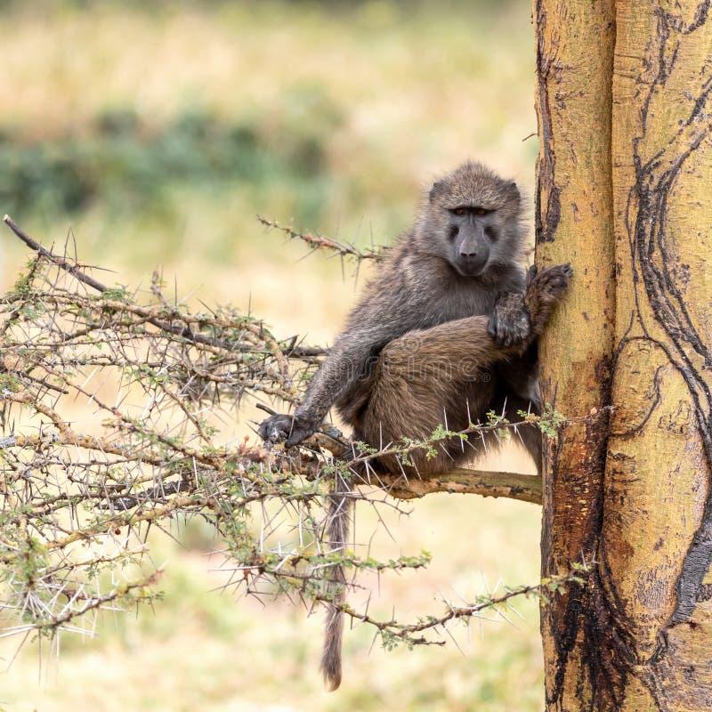 Babuíno verde-oliva em uma árvore de febre no lago Nakuru imagem de stock royalty free