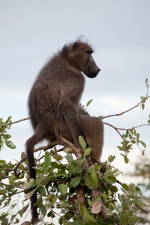 Babuíno verde-oliva na árvore fotografia de stock