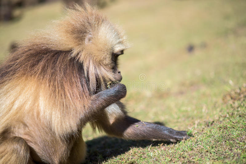 Babuínos de Gelada que alimentam em raizes fotografia de stock royalty free