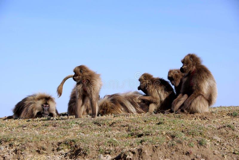 Babuínos, Etiópia fotos de stock royalty free