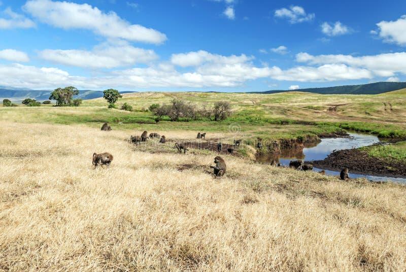Babuínos na pradaria de Tanzânia imagens de stock royalty free