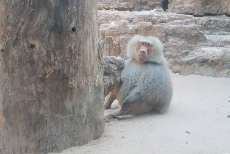 Babuino στο ζωολογικό κήπο στοκ φωτογραφίες