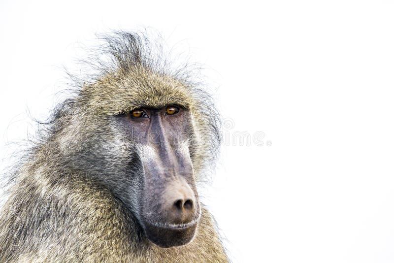 Babuino de Chacma en el parque nacional de Kruger, Suráfrica fotos de archivo libres de regalías