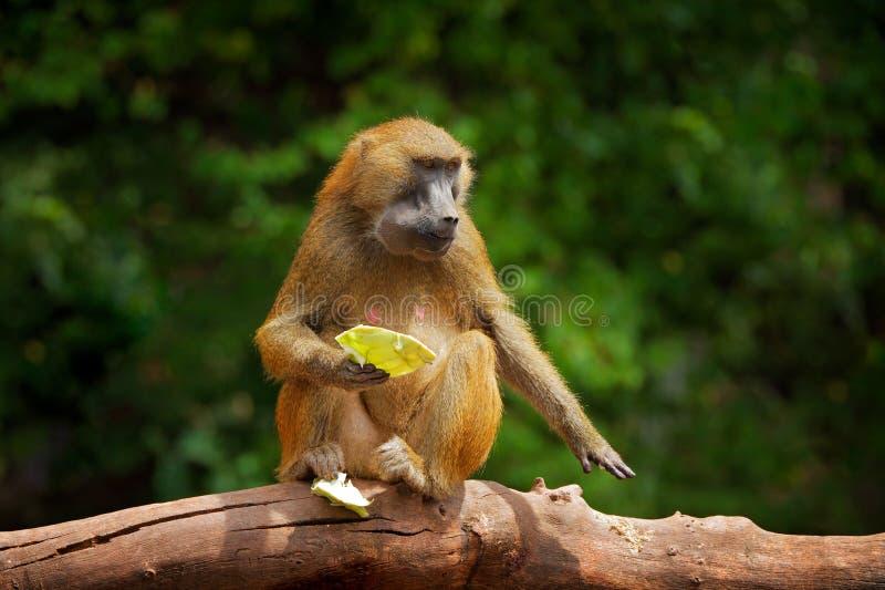 Babuino de Guinea, papio del Papio, mono de Guinea, Senegal y Gambia Mamífero salvaje en el hábitat de la naturaleza Frutas de al imagen de archivo