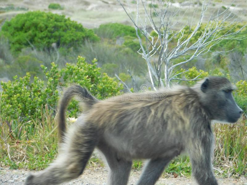 Babuino en la selva del vagabundeo fotos de archivo libres de regalías