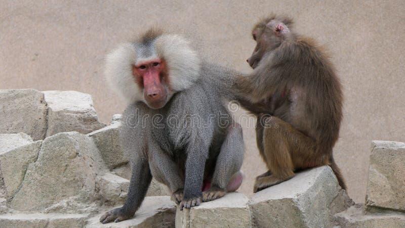Babuino femenino que prepara un babuino masculino imagenes de archivo