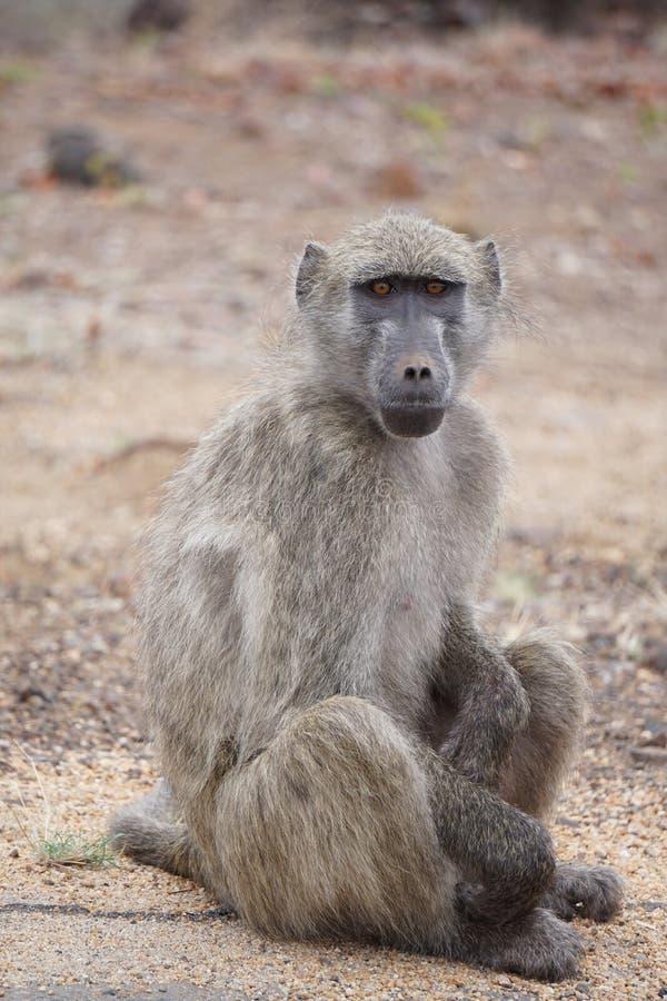 Babuino que se sienta en el parque nacional de Kruger imagenes de archivo