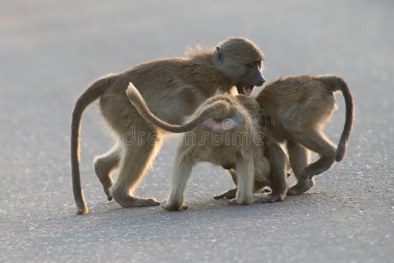 Babuinos jovenes que juegan en una última hora de la tarde del camino antes de volver foto de archivo