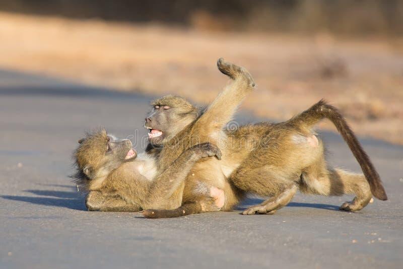 Babuinos jovenes que juegan en una última hora de la tarde del camino antes de volver imágenes de archivo libres de regalías