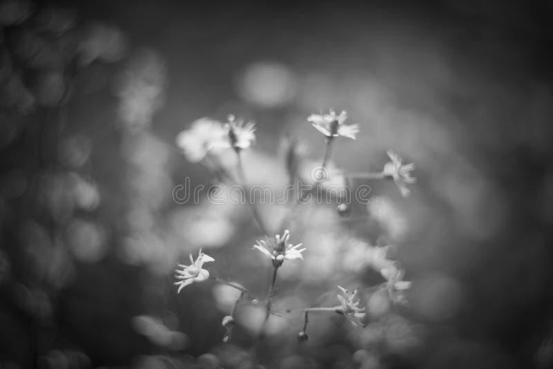 Baby& x27; дыхание или гипсофила s красивый цветок в семье гвоздики на запачканных флористических предпосылках природы стоковые фото