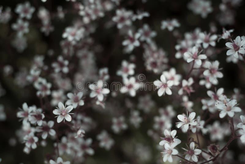 Baby& x27; дыхание или гипсофила s красивый цветок в семье гвоздики на запачканных флористических предпосылках природы стоковое изображение rf