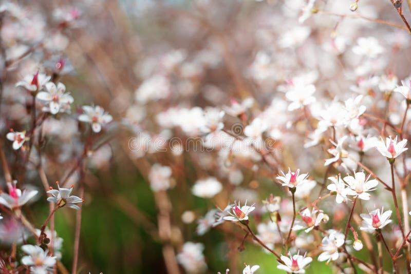 Baby& x27; дыхание или гипсофила s красивый цветок в семье гвоздики на запачканных флористических предпосылках природы стоковые изображения rf