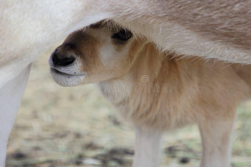 Download Baby Addax Feeding stock photo. Image of africa, nasomaculatus - 29001008