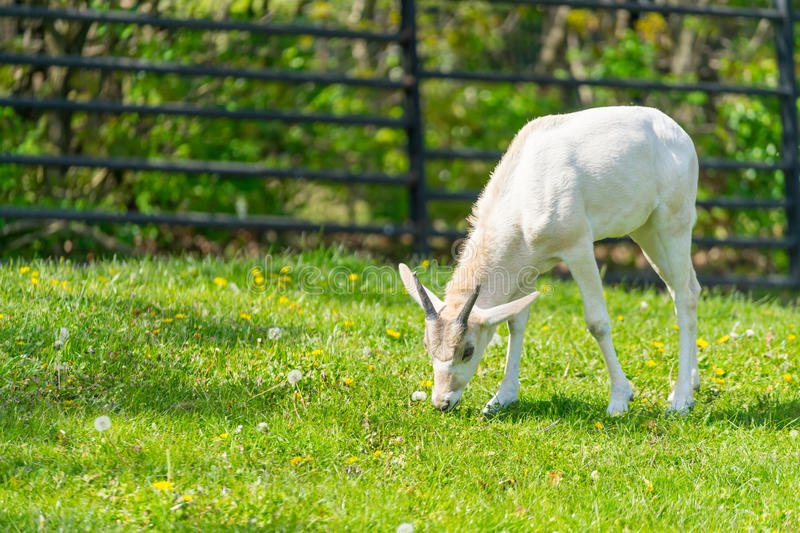 Baby addax feeding. Baby addax on green grass with bloomy flower. S. Wildlife nature. Baby addax. Horned stock images