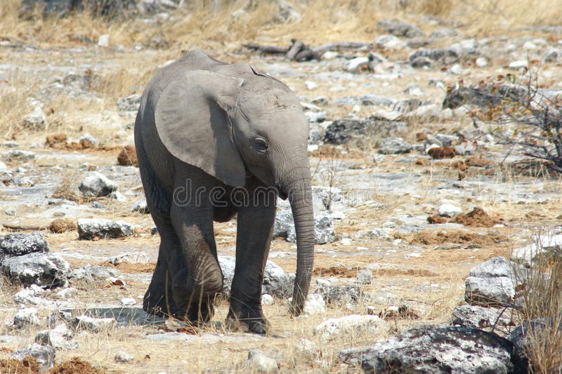 Baby African Elephant royalty free stock photo