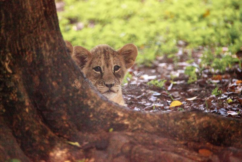 Baby African lion cub Panthera leo nursing royalty free stock photos