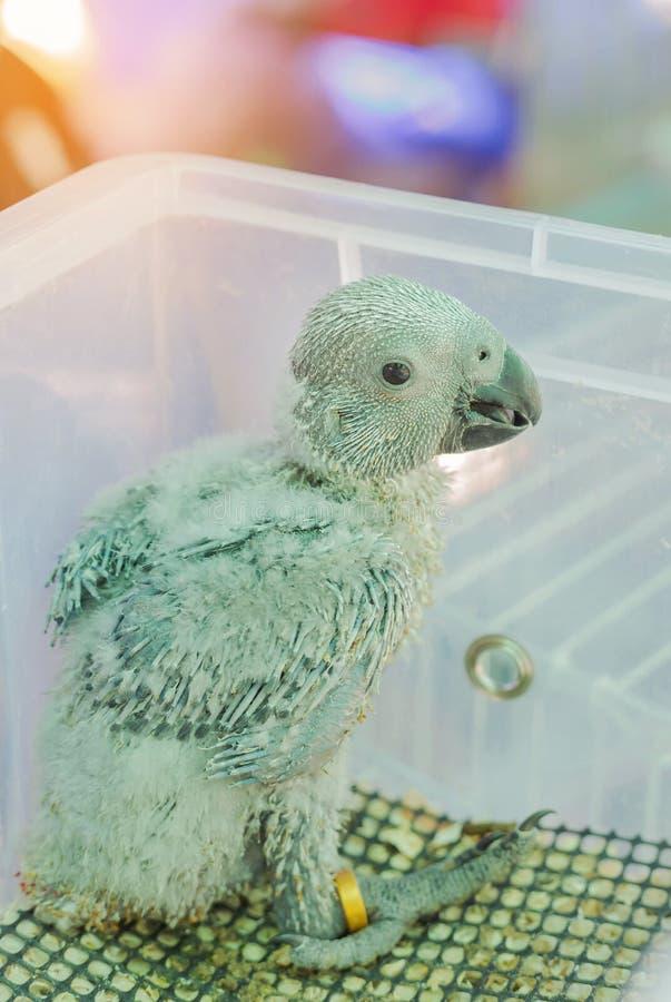 Baby Afrikaanse grijze papegaai, Psittacus-erithacus stock fotografie