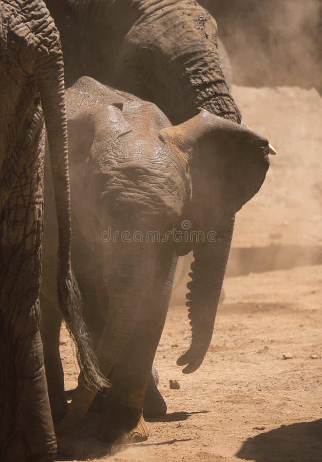 Baby Afrikaanse olifant die zich tussen kuddeleden bevinden, stof die het omringen stock fotografie