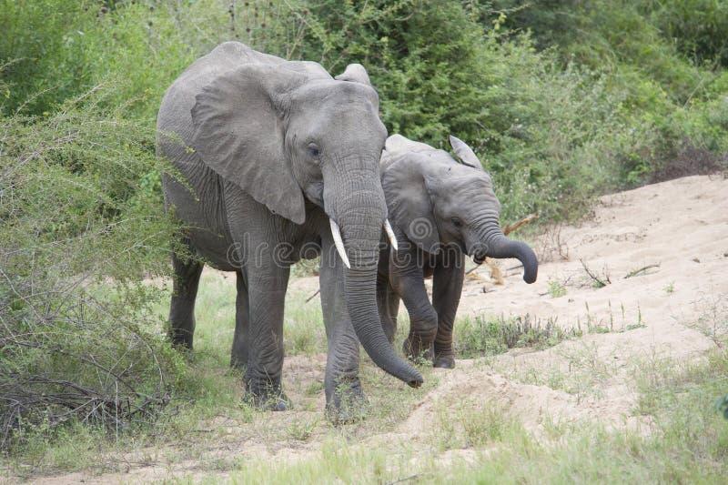 Baby Afrikaanse olifant met volwassene in natuurlijke habitat stock afbeeldingen