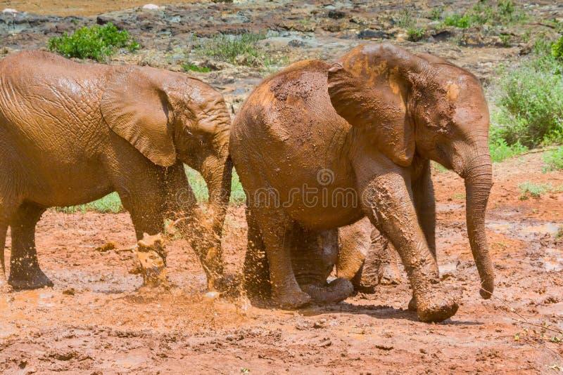 Baby Afrikaanse Olifanten die een Modderbad doornemen stock fotografie