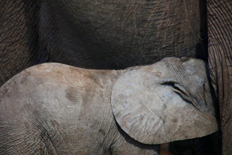 Baby-afrikanischer Elefant-Fütterung stockfotos
