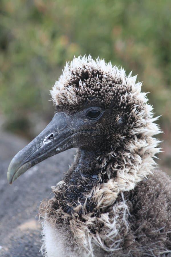Baby Albatross stock photo