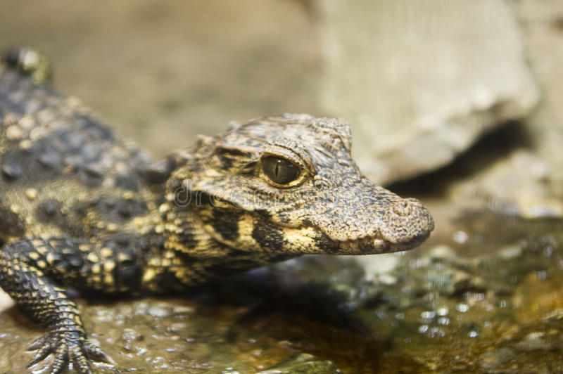 Download Baby Alligator stock photo. Image of stealth, small, alligator - 11300934