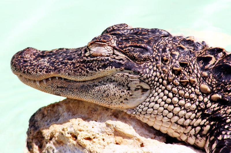 Baby alligator stock photography
