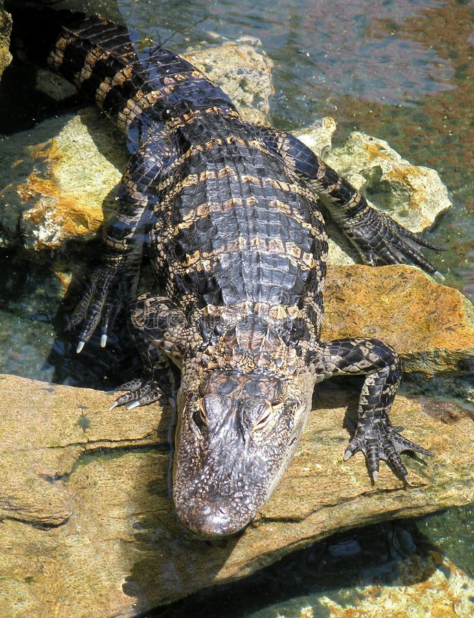 Download Baby Alligator stock photo. Image of rocks, rough, baby - 192002