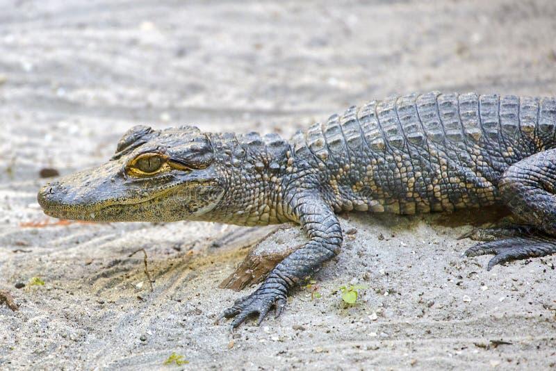 Baby-Alligator auf dem Sand stockfotografie