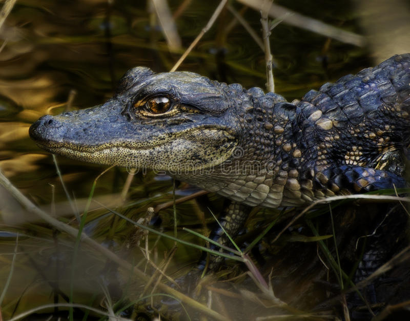 Baby-Alligator auf Klotz stockbilder
