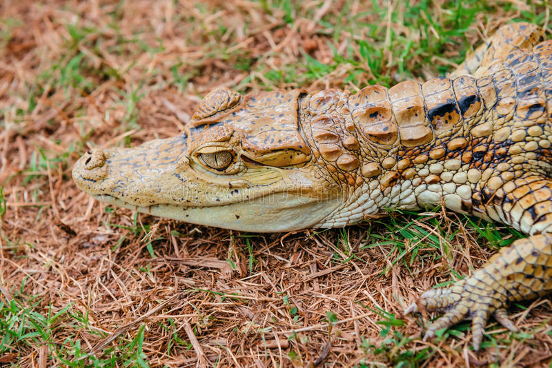 Baby alligator cayman gator face portrait head camouflaged in the wild.  stock photo
