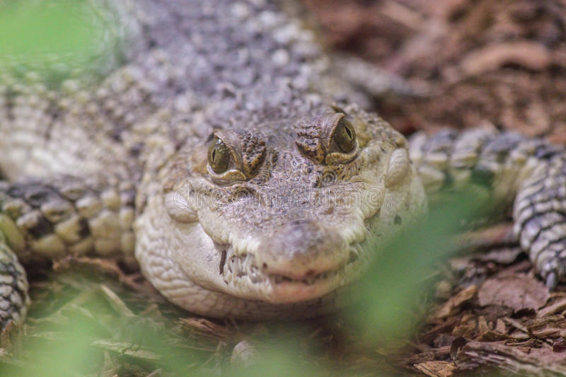 Baby Alligator Looking at the Camera. S stock photos
