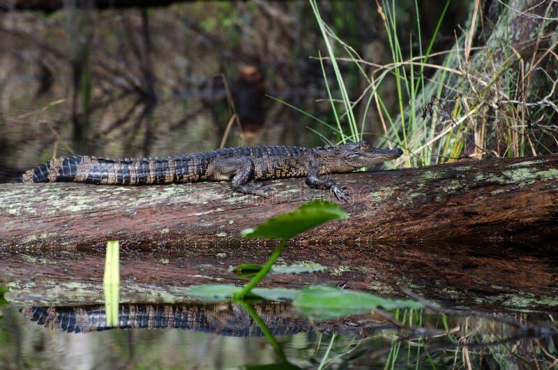 Baby Alligator. Okefenokee Swamp Park royalty free stock photo
