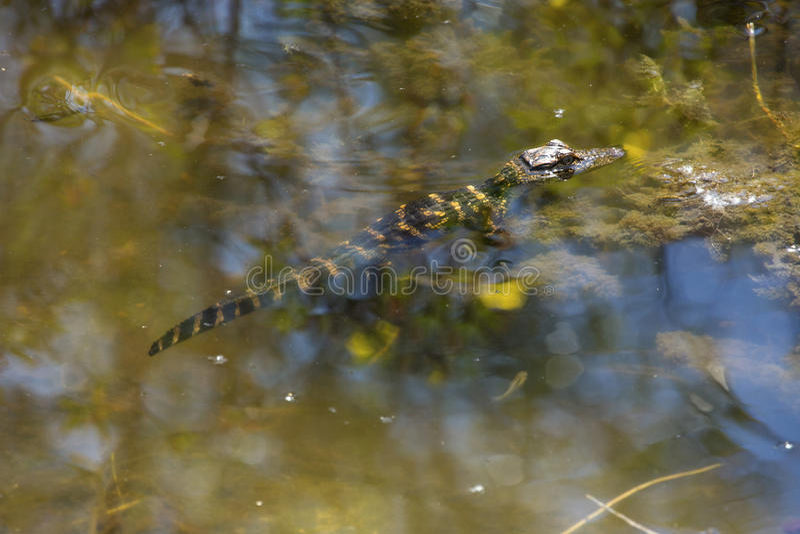 Baby alligator resting in shallow water at Lake Apopka, Florida. royalty free stock images
