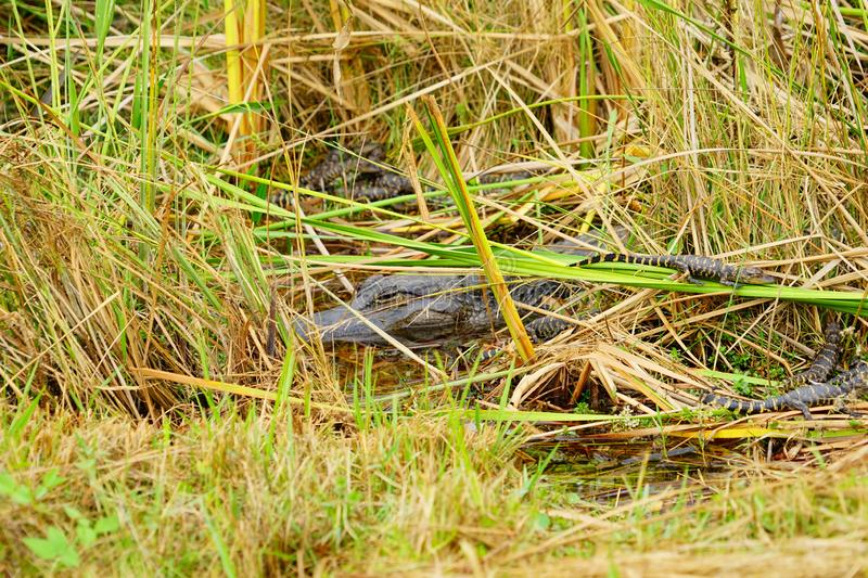 Baby Alligator is sleeping. In everglades national park, Florida, USA stock photos