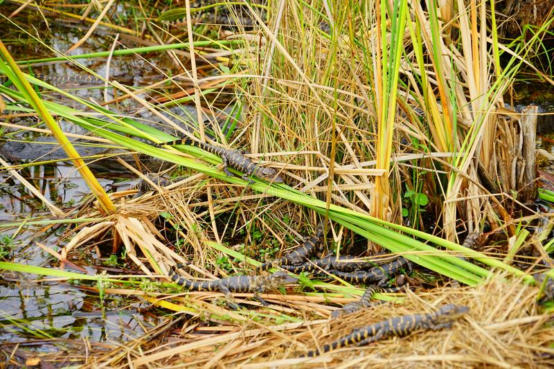Baby Alligator is sleeping. In everglades national park, Florida, USA stock image