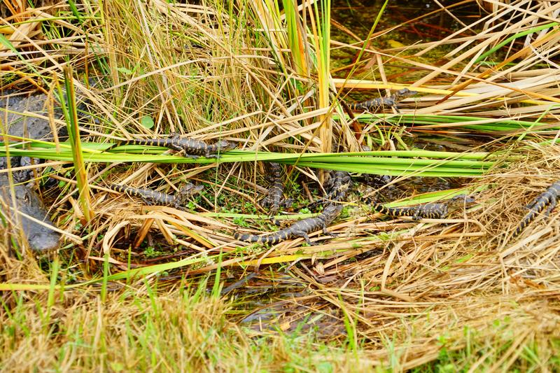 Baby Alligator is sleeping. In everglades national park, Florida, USA royalty free stock photo