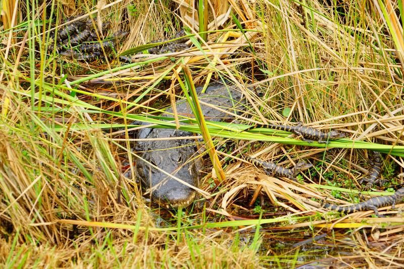 Baby Alligator is sleeping. In everglades national park, Florida, USA royalty free stock images