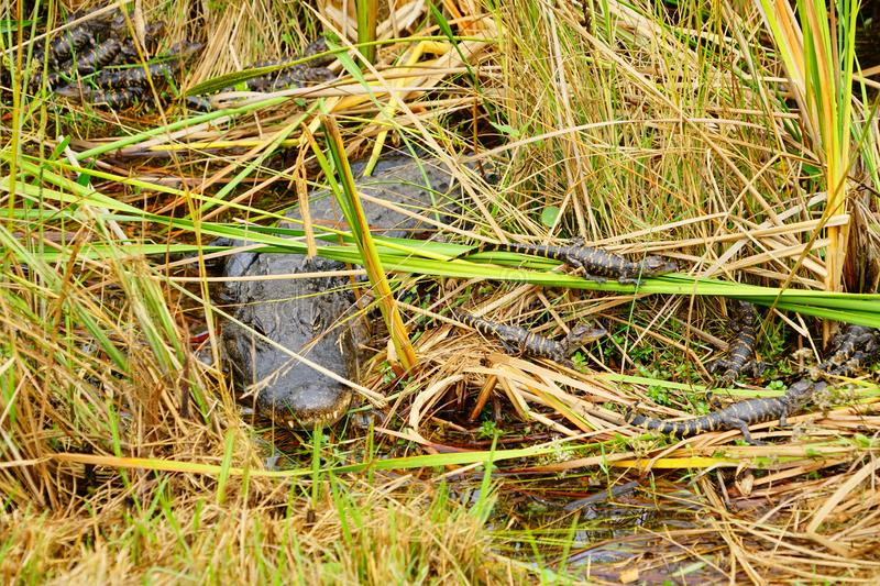 Baby Alligator is sleeping. In everglades national park, Florida, USA royalty free stock image
