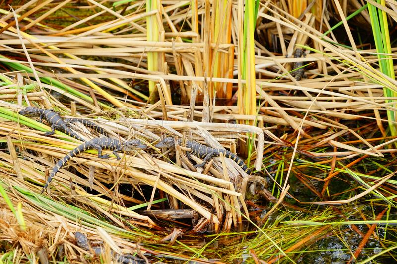 Baby Alligator is sleeping. In everglades national park, Florida, USA stock images
