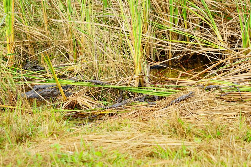 Baby Alligator is sleeping. In everglades national park, Florida, USA royalty free stock photography