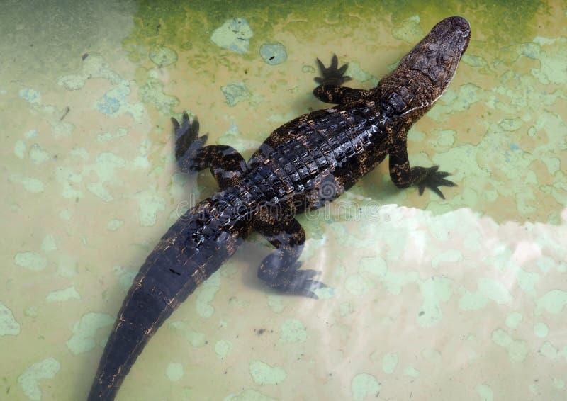 Baby alligator royalty free stock photos